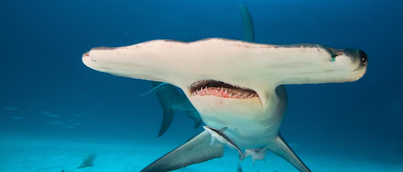 Hammerhaie hautnah Erleben