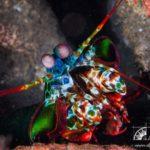 Fangschreckenkrebs Safariboot Adelaar
