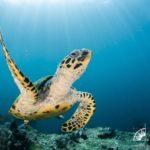 Schildkröte Tauchboot Adelaar